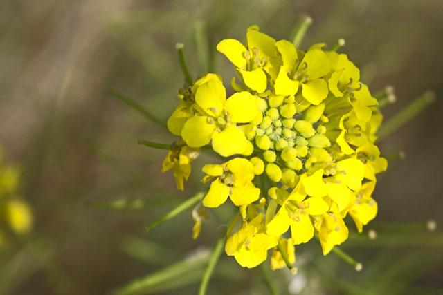 Navet (Brassica rapa subsp. rapa) - Fleurs (Fleurs de légumes)