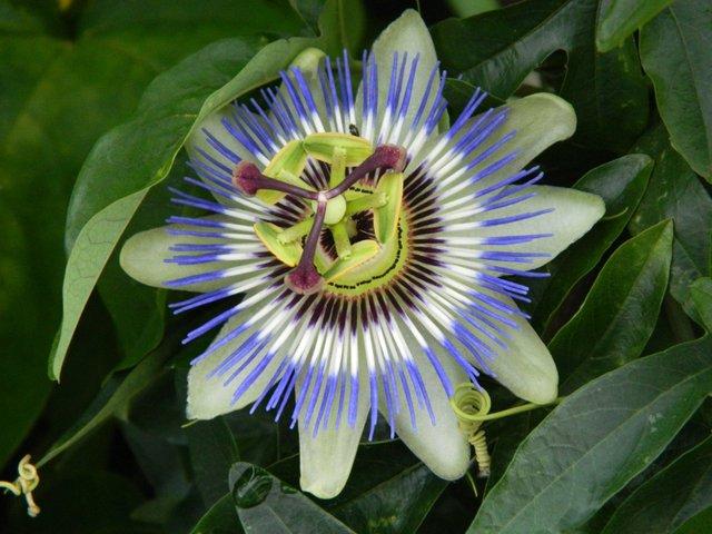 Passiflore commune (passiflora caerulea)