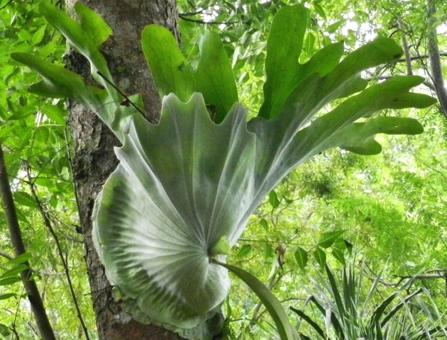 Platycerium foug re corne d 39 lan culture et entretien for Ou acheter des plantes