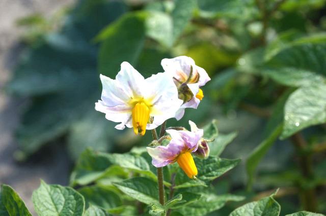Pomme de terre (Solanum tuberosum) - Fleur (Fleurs de légumes)