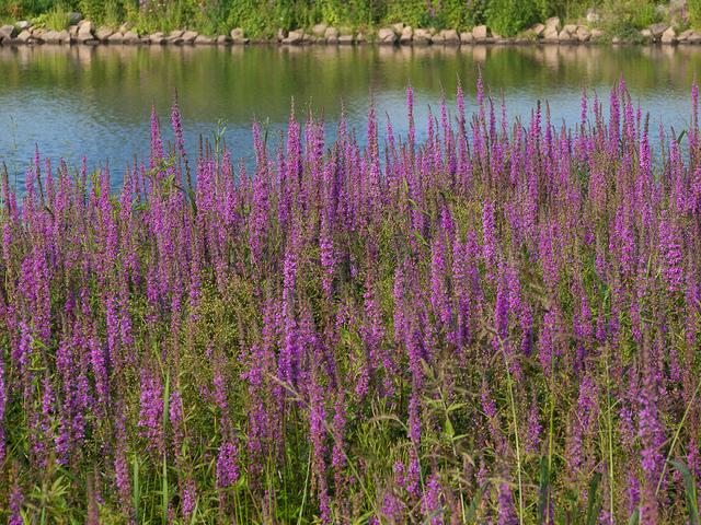 Salicaire : semis, culture et entretien