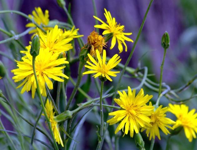 topinambour helianthus tuberosus fleur fleurs de l gumes. Black Bedroom Furniture Sets. Home Design Ideas