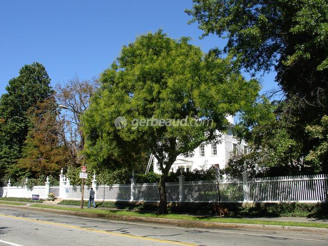 Sophora japonica : un arbre majestueux pour grand jardin