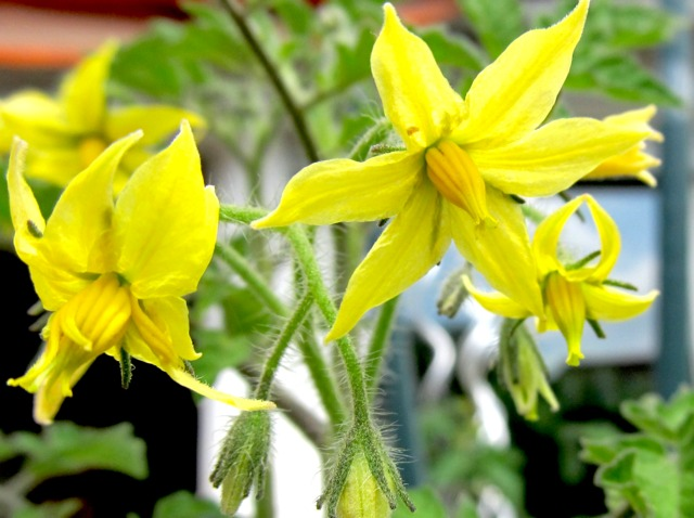 Tomate (Solanum lycopersicum) - Fleur (Fleurs de légumes)