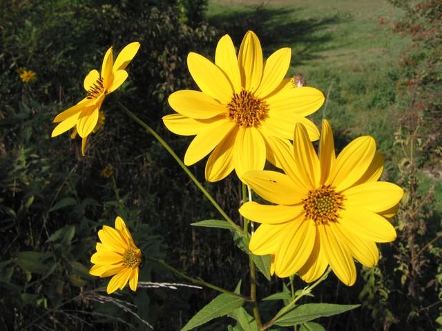 Topinambour (Helianthus tuberosus) - Fleur (Fleurs de légumes)