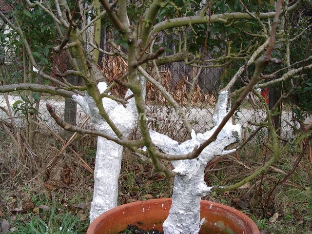 F q quand doit on chauler les arbres fruitiers - Quand doit on tailler les coniferes ...