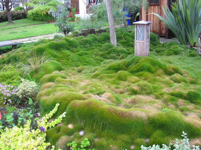 Gazon des mascareignes zoysia tenuifolia for Japanese mounding grass