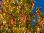 Arbre au caramel, Cercidiphyllum japonicum