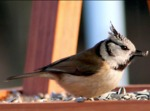 Les 30 et 31 janvier 2016, 4e édition du comptage national des oiseaux des jardins !