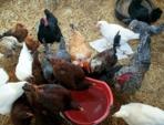 Pourquoi les poules ont-elles besoin d'eau ?