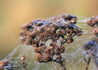 Achillea filipendulina : inflorescences sèches en automne