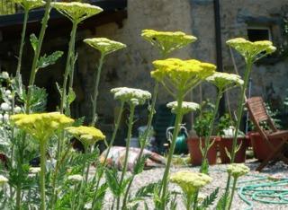 Achillée eupatoire ou filipendule : fleurs et feuillage