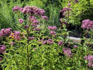 Eupatoire - Eupatorium purpureum