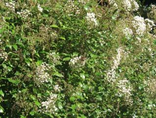 Eupatorium ligustrinum