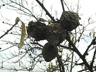 fruits momifiés
