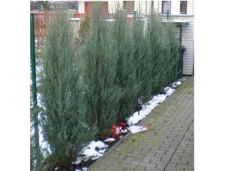 Juniperus scopulorum 'Skyrocket' plantés en haie