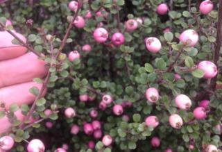 Lophomyrtus ralphii - Baies