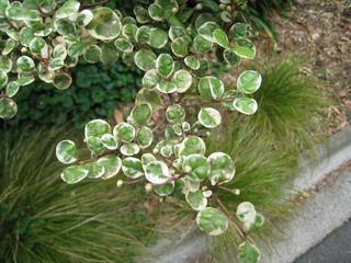 Lophomyrtus ralphii