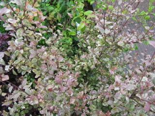 Lophomyrtus x ralphii 'Multicolour'