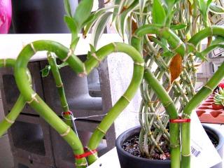 Lucky bambou à la forme originale
