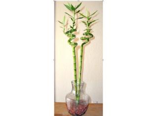Lucky bambou cultivé dans de l'eau