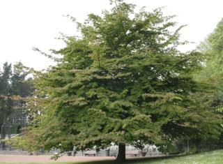 Parrotia persica, arbre de fer