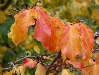 Parrotia persica, feuillage d'automne