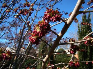 Parrotia persica - Floraison