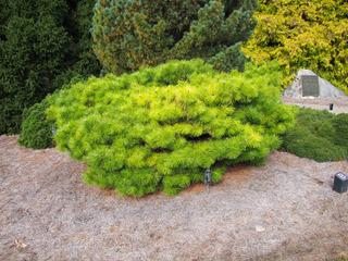 Pinus x [densiflora x nigra] 'Jane Kluis'