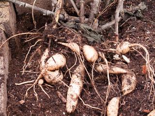 Poire de terre, yakon : récolte