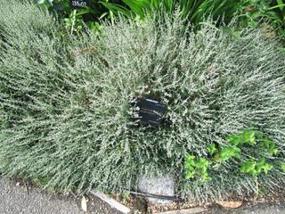 Teucrium subspinosum