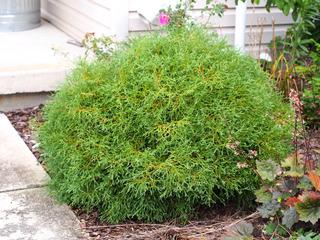 Thuja occidentalis 'Linesville' (variété naine)