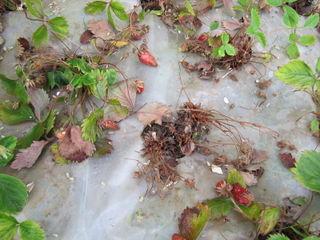 Verticilliose sur fraisiers