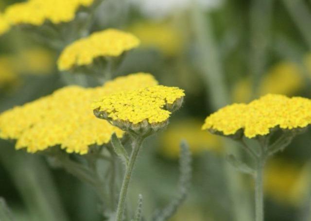 Achillée eupatoire, Achillea filipendulina : semis, culture, variétés