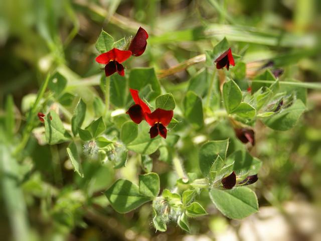 Pois-asperge : semis, culture et récolte