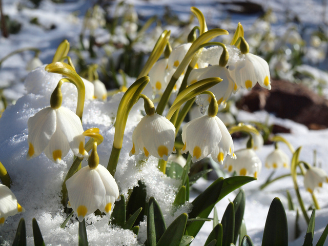 Nivéole de printemps, nivéole d'été : plantation, culture