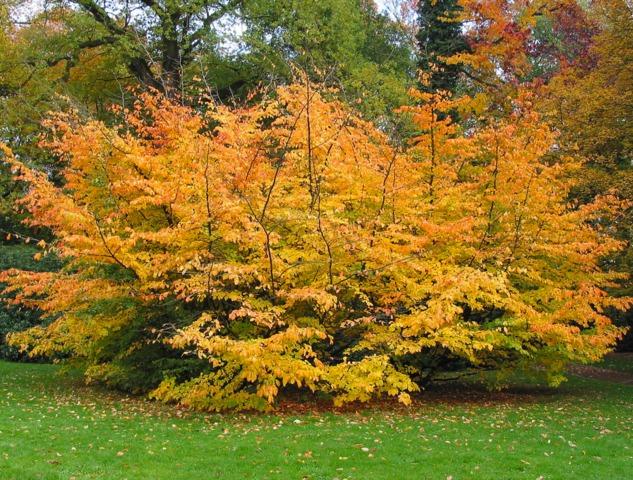 Les feuillages de l'été indien : sélection d'arbres et arbustes beaux en automne