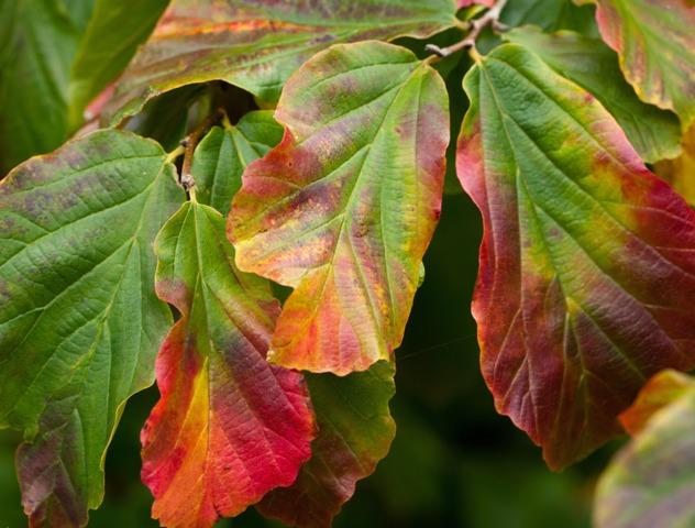 Parrotia persica : plantation, entretien, taille