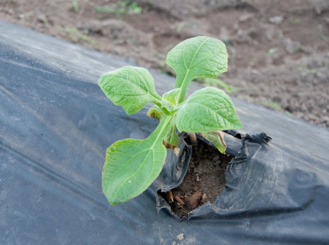Poire de terre : plantation