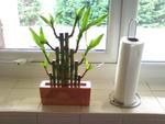 Lucky bambou, Dracaena sanderiana