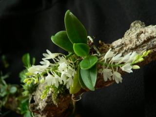Aerangis hyaloides