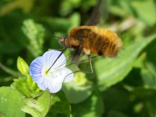 Grand bombyle butinant une fleur de véronique