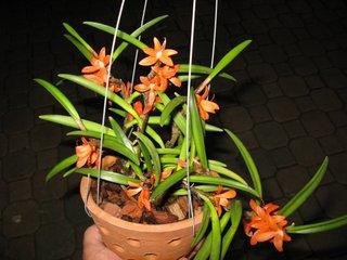 Orchidées miniatures