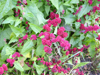 Epinard-fraise