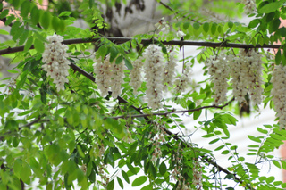 Robinier, faux-acacia (Robinia pseudoacacia)