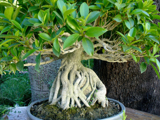 Ficus microcarpa formé en bonsaï, âgé de 35 ans