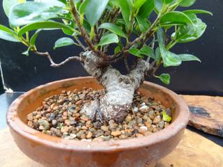 Ficus bonsai en cours de formation