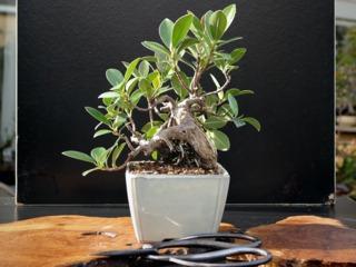 Ficus microcarpa, ficus bonsaï