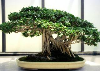 Vieux bonsaï (Ficus microcarpa)
