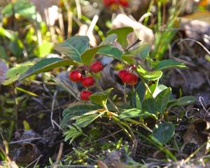 Gaultheria procumbens, baies